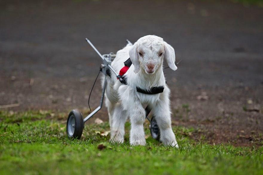 cabra bebe con silla de ruedas