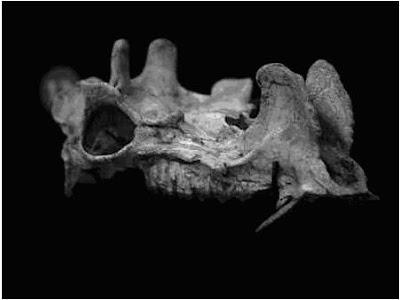 Protoceras skull