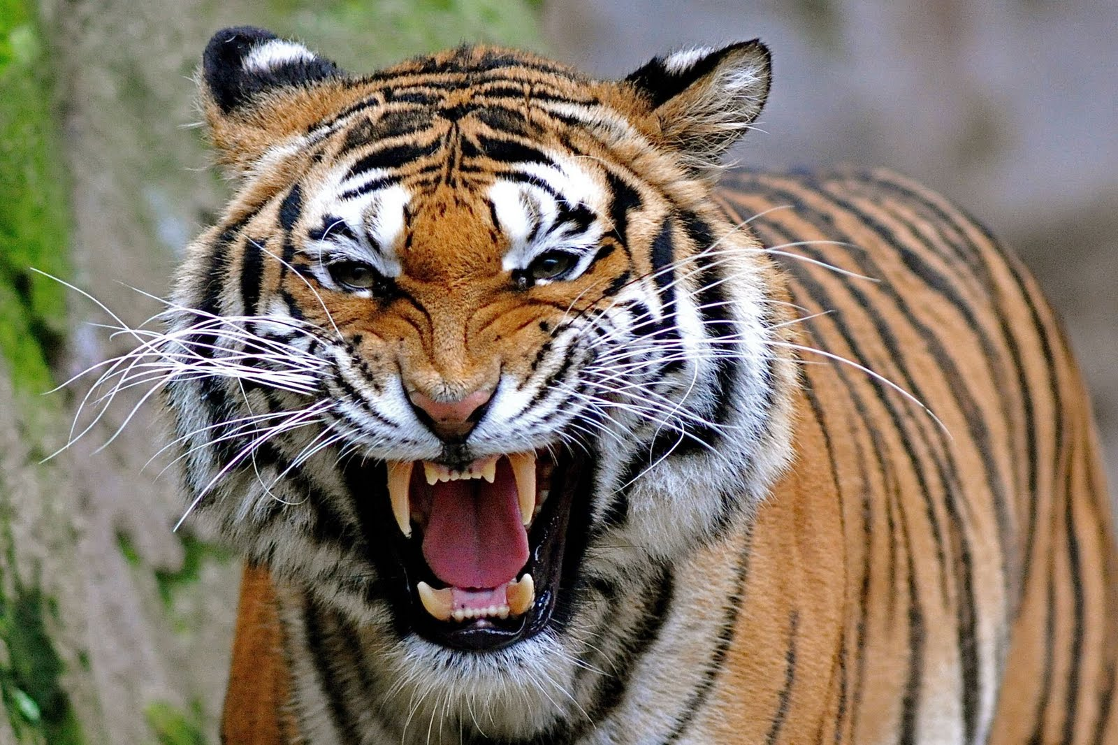angry tiger photos - photo #7