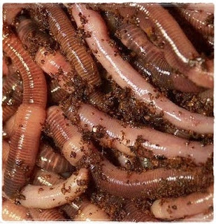 manfaat cacing tanah lumbricus rubellus