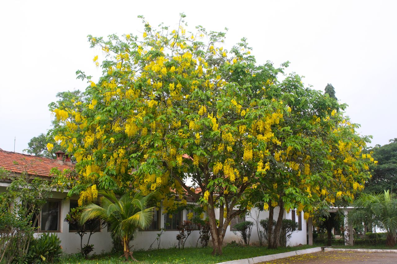At Home In Ghana Flowering Trees