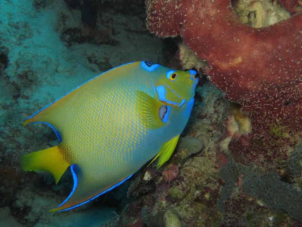 Rambling Jill: Queen angelfish