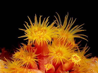 La magia de las piedras: EL CORAL Bonaireflowercoral