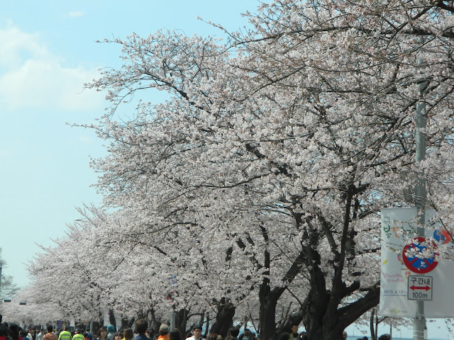The row of cherry blossoms