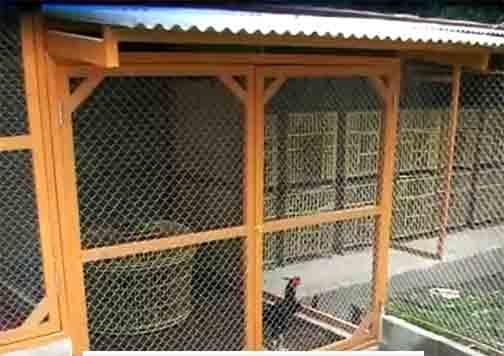 Obat Bubul Tradisonal Untuk Ayam Bangkok