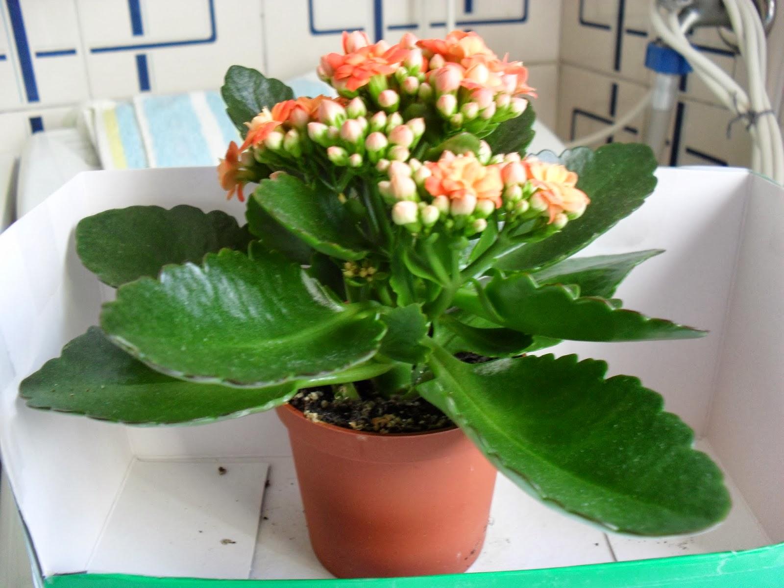 tercera eposha: Flores que me gustan , Kalanchoe