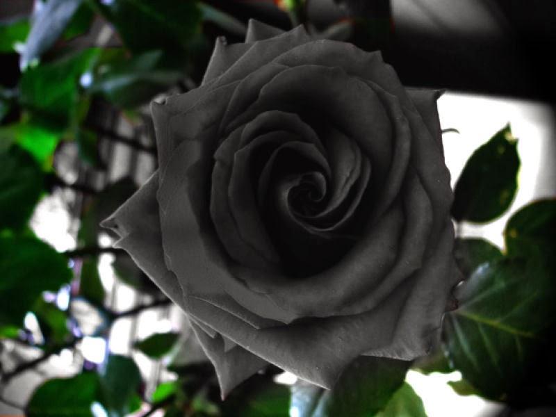 cultivo rosas jardim:Como as Rosas são as flores de minha preferência, estive pesquisando