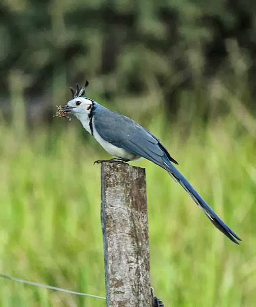 WHITE-THROATED MAGPIE-JAY WITH SCORPION