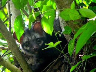 Civet, civet cat, Kopi Luwak, Kopi Luwak coffee, coffee, coffee cat