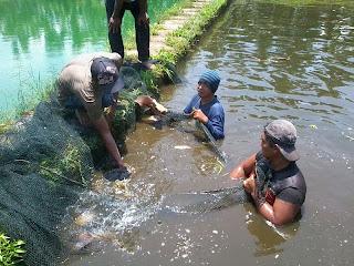 Cara Budidaya Ikan Gurame Di Kolam Dan Terpal