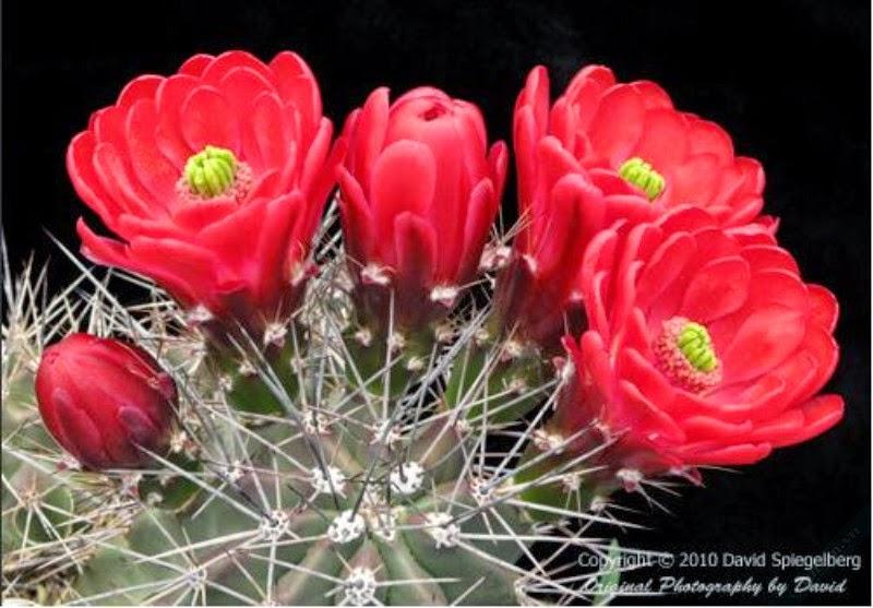 hình ảnh hoa xương rồng