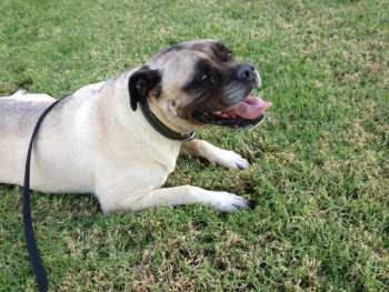 Tinkerbell, a senior mastiff mixed breed dog found her forever home