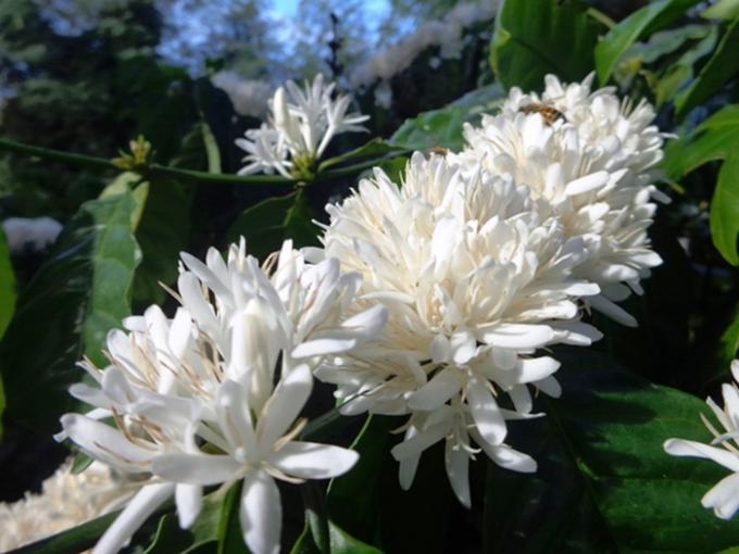 """Hoa cà phê """"trái mùa"""": Vẫn đậm sắc, toả hương"""