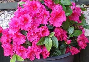 Azalea Blooms pink