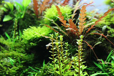 Im Vordergrund zu sehen, die Stängelpflanze Ammania sp. bonsai