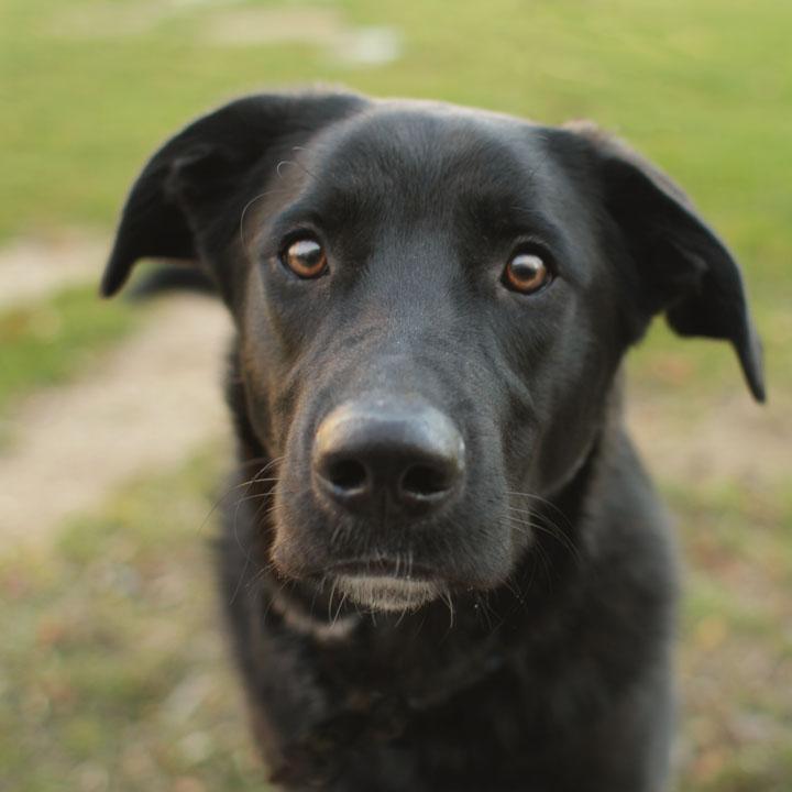 Jamie - Black Labrador Retriever