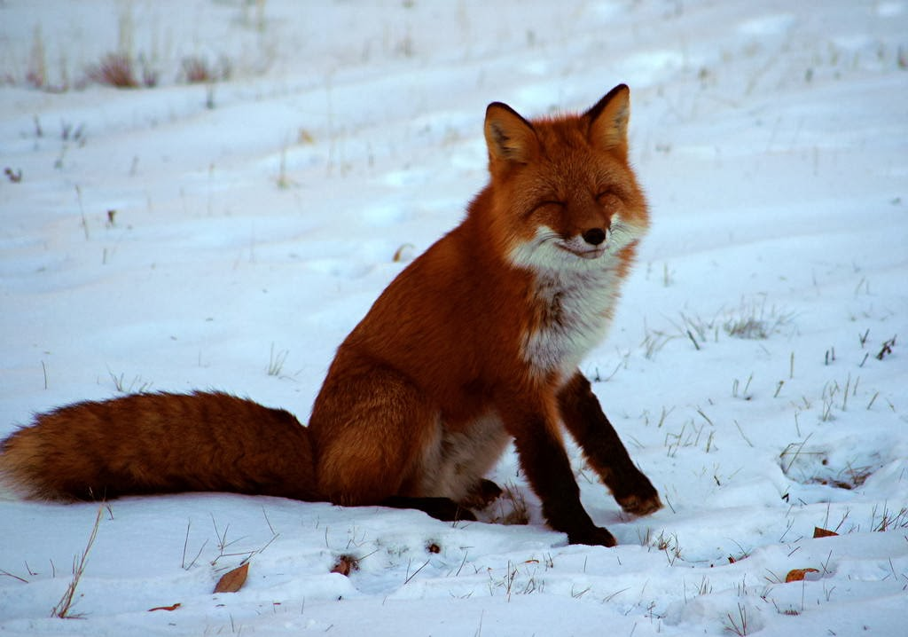 Funny animals of the week - 7 February 2014 (40 pics), smiling fox picture