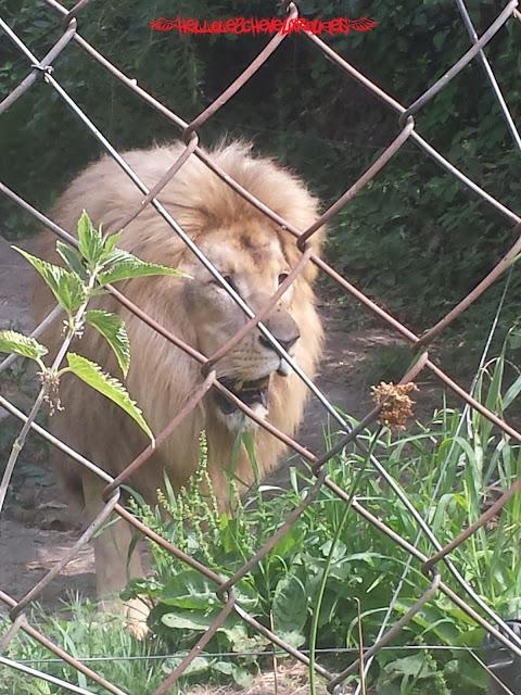 Lion derrière le grillage de son enclos à Touroparc
