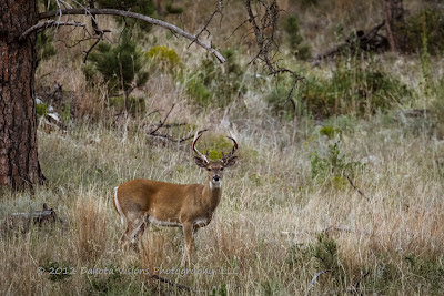 Beautiful White Tailed Deer Buck in Custer State Park by Dakota Visions Photography LLC www.dakotavisions.com Black Hills