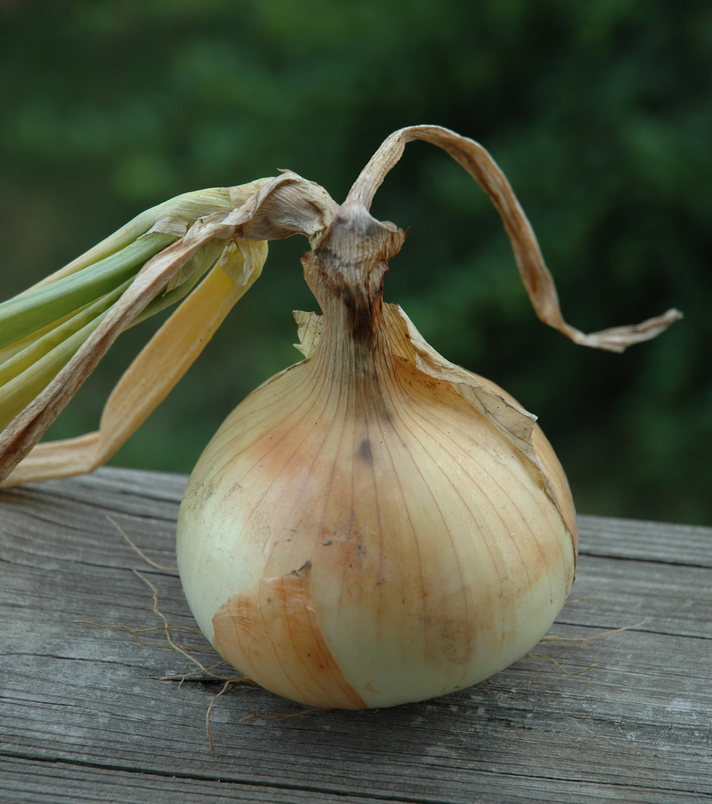 Strange gardener the onion you can eat like an apple - Unknown uses for an onion ...