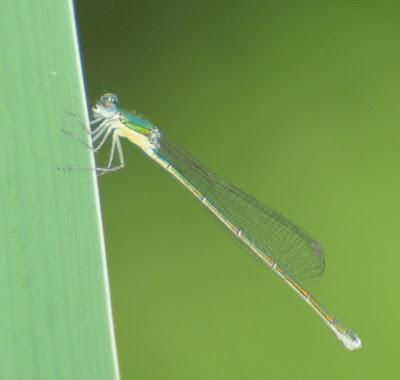 Elegant Spreadwing (Lestes inaequalis)