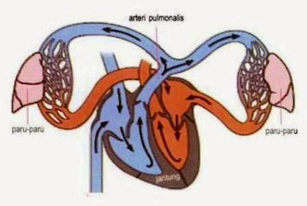 Sistem Peredaran Darah Kecil Manusia