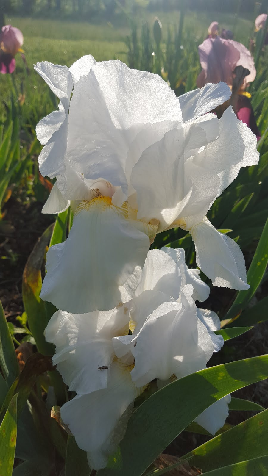 Iris Plants for Sale
