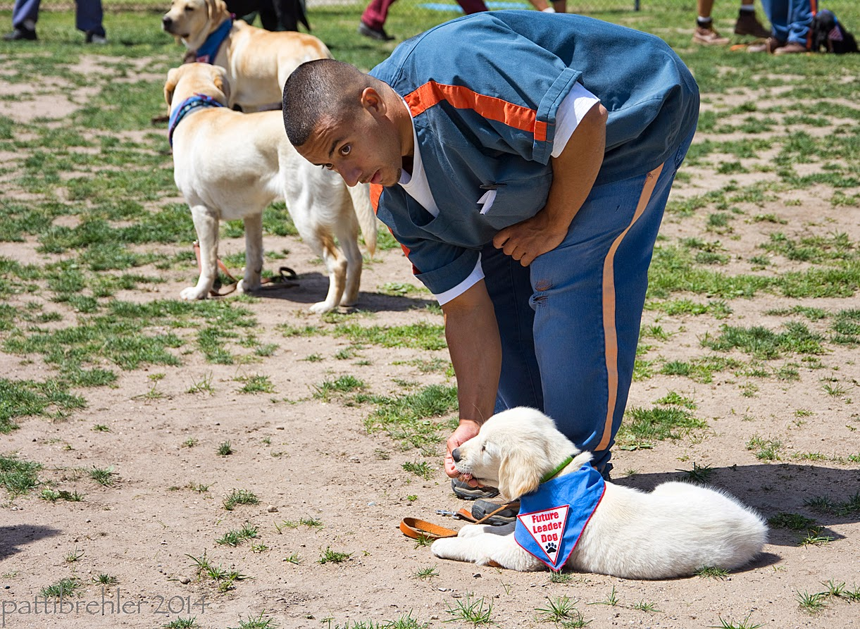 A man wearing the blue prison uniform is bending down to give a treat to a small golden retriever puppy that is lying on the ground next to him. The puppy is wearing the blue Future Leader Dog bandana. There are two yellow labs standing int he background. The ground is sand with some grass.