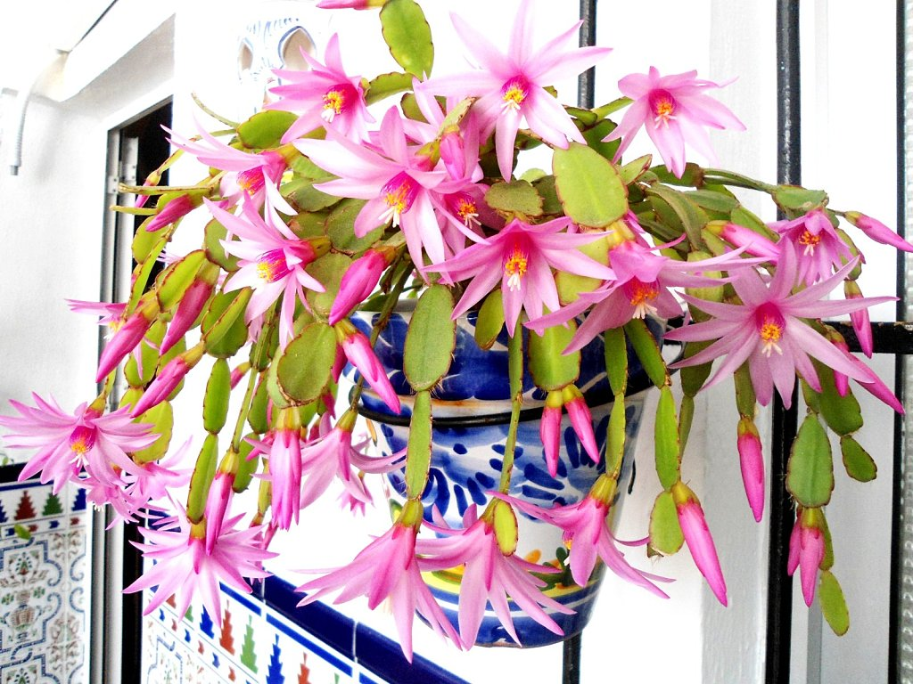 Santa teresita cactus de navidad huerta casera y otras for Santa teresita planta