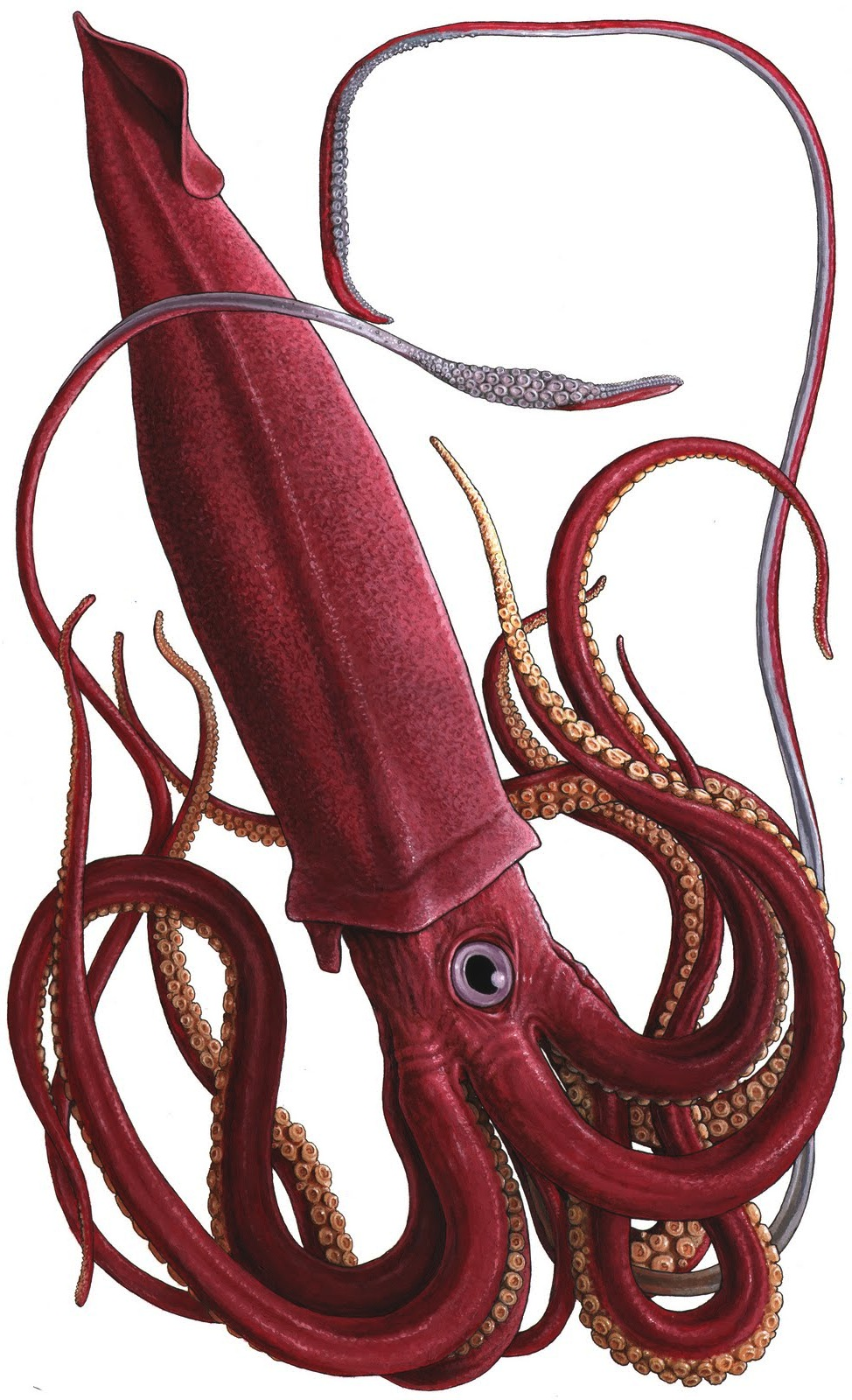 1000 ideas about giant squid on pinterest octopus