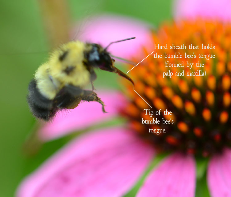 Hard sheath for a bumble bee's tongue (Bombus impatiens)