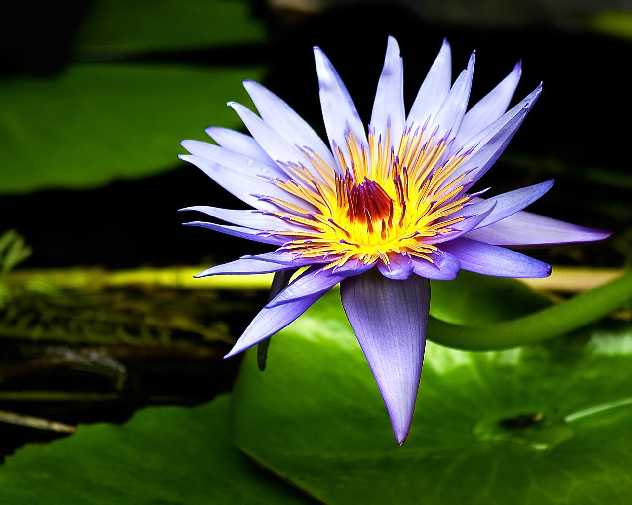 http://2.bp.blogspot.com/-ZePYpaCqSAA/TfZMS6iU4pI/AAAAAAAAAH0/oSFfELqixX4/s1600/Lilies+Flowers+Wallpaper9.jpg