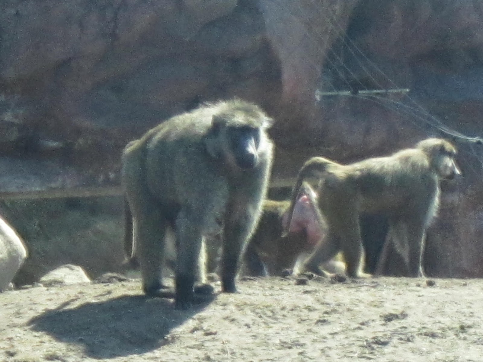 baboons, zoo, Toronto Zoo, animals, animal photography