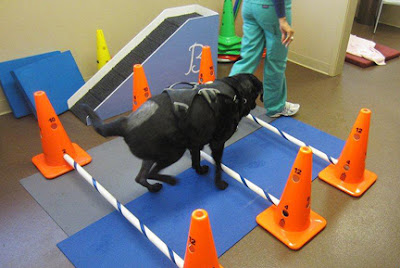Orthopedic therapy for black lab doing obstacle and balance course