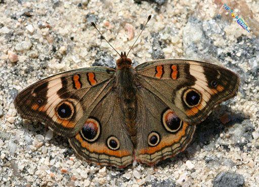 viviens 10 most beautiful species of butterflies