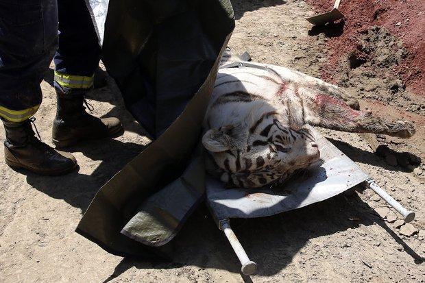 O tigre branco foi morto após a chegada da polícia ao esconderijo (Foto: AFP photo/ Stringer)