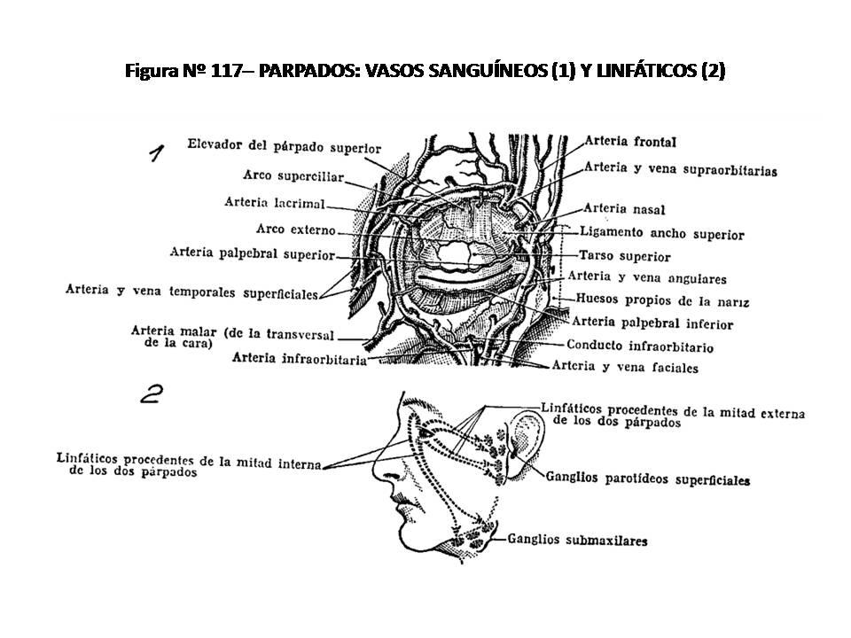 ATLAS DE ANATOMÍA HUMANA: 117. PÁRPADOS: VASOS SANGUÍNEOS (1) Y ...