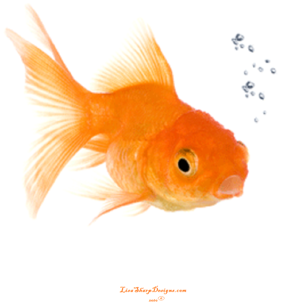Best free racing tips help barry the gold fish 39 39 he 39 s for Fish for gold