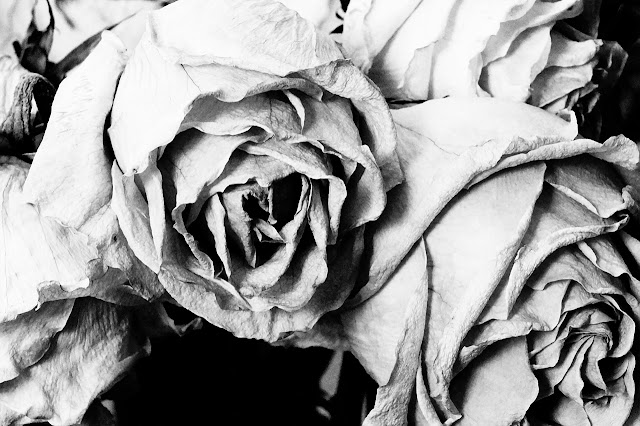 Close up black and white picture of a dying rose