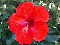 9 Manfaat Bunga Kembang Sepatu Bagi Kesehatan dan Kecantikan