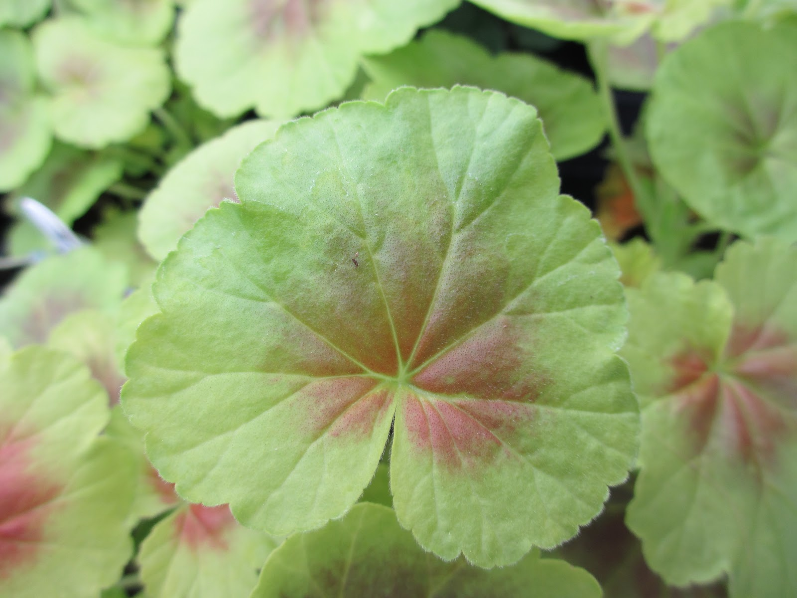 The Well Watered Garden Geranium Leaves