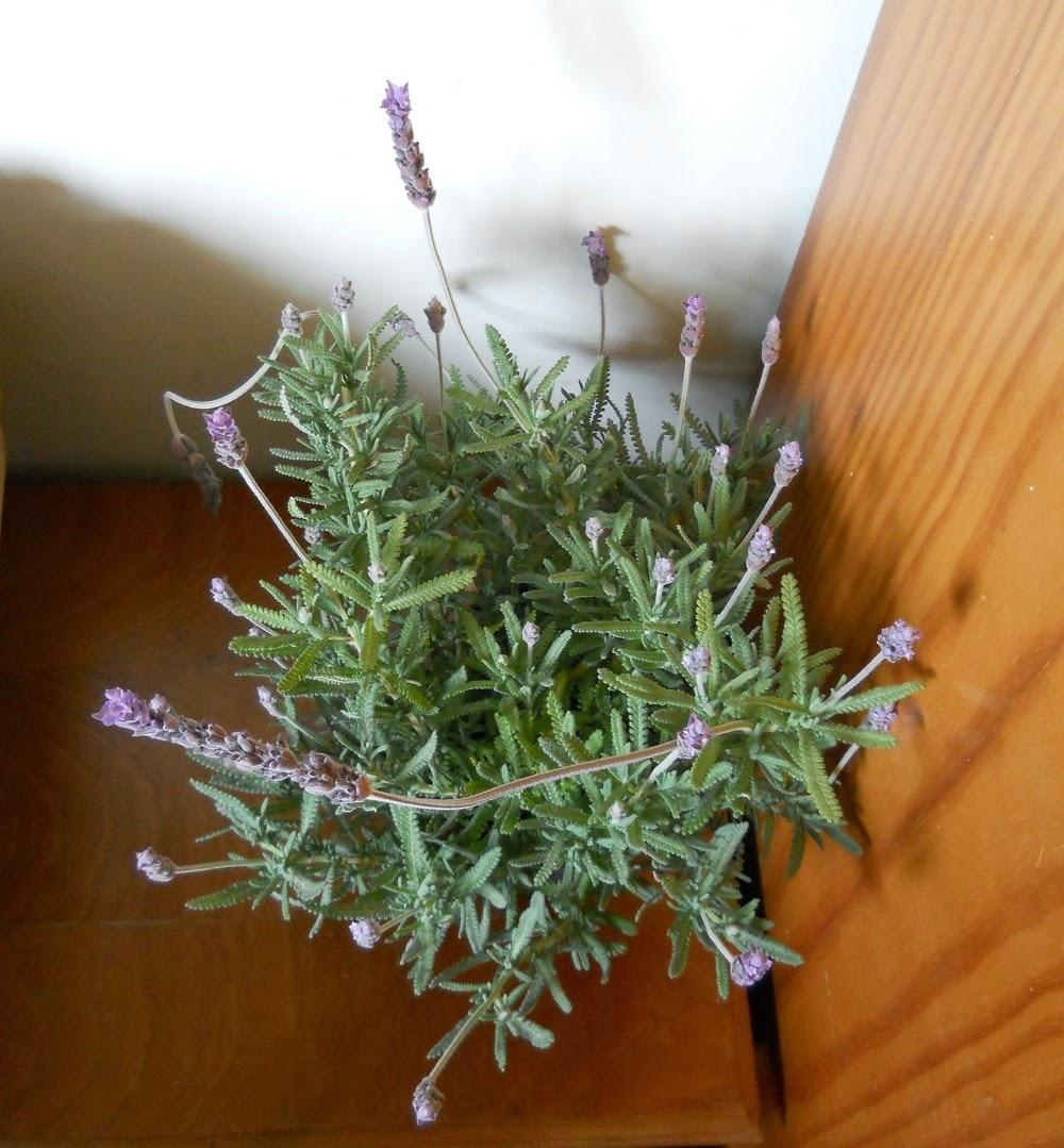 planta aromatica lavandula critata