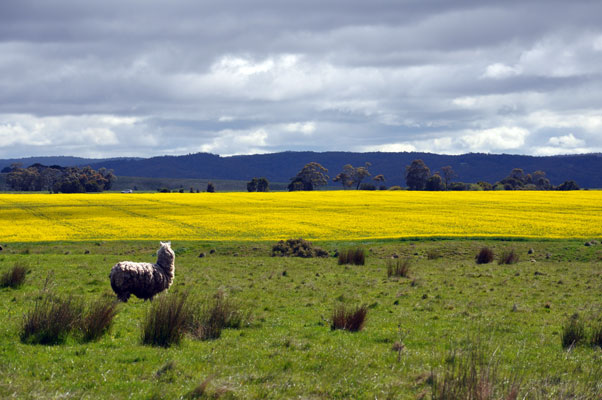 A bit of everything fields of gold vivid yellow flowers in spring make canola the most distinctive of victorias winter crops walk close to a canola crop in flower and the strong cabbage mightylinksfo