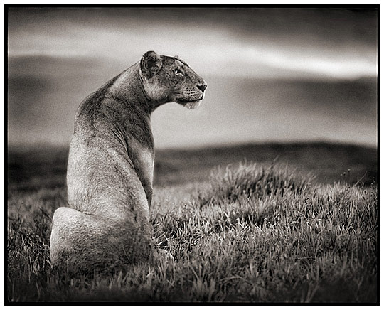 Lion Wildlife Animal Photography