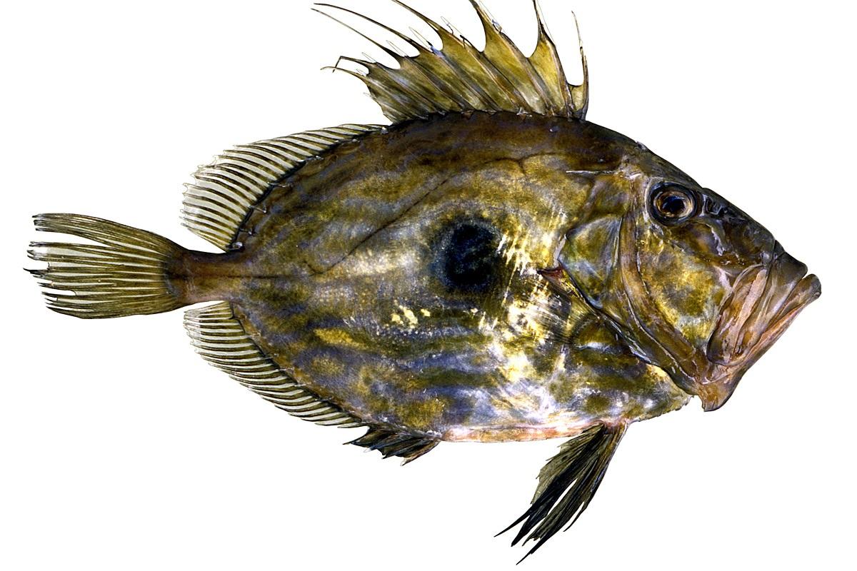 dülger balığı ile ilgili görsel sonucu