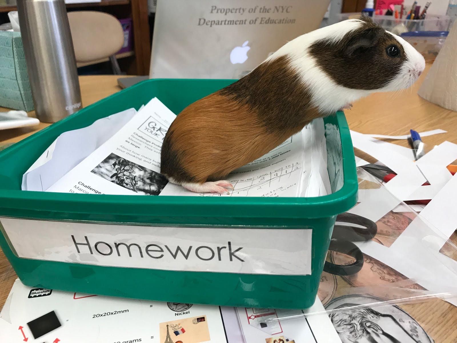 charlie charlie guinea pig