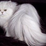 Tip a Cat - How to Buy a Persian Cat