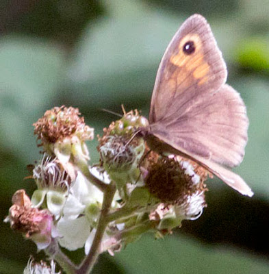 Meadow Brown butterfly, Maniola jurtina, in a glade in High Elms Country Park, 15 July 2011.