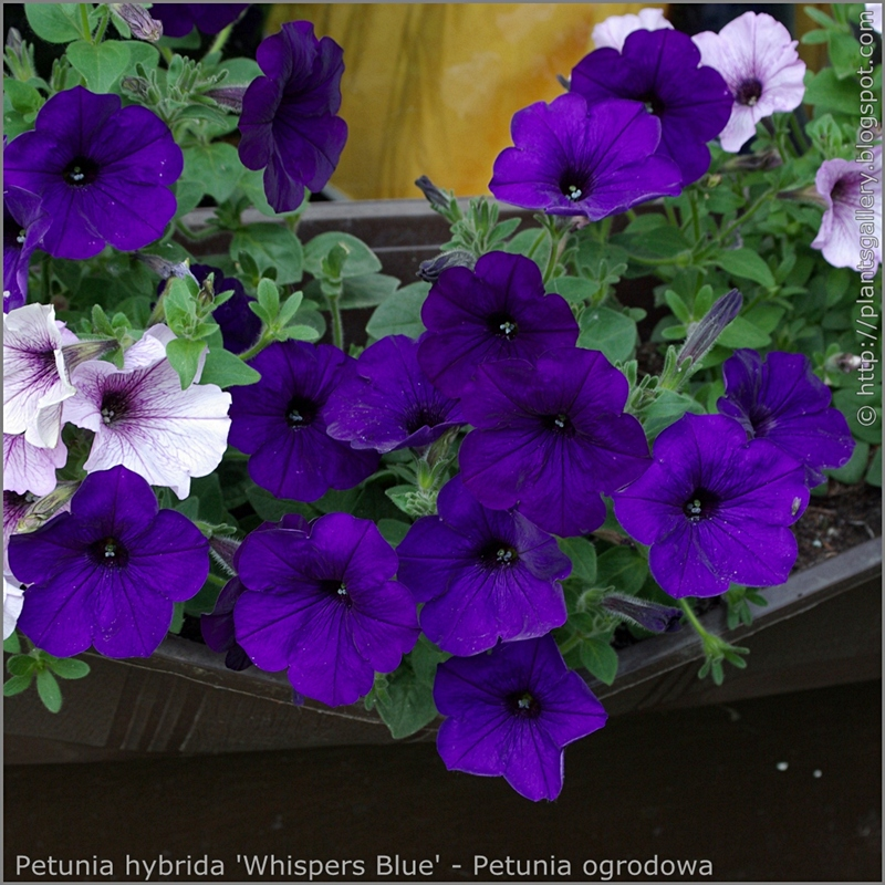 Petunia hybrida 'Whispers Blue' - Petunia ogrodowa 'Whispers Blue'