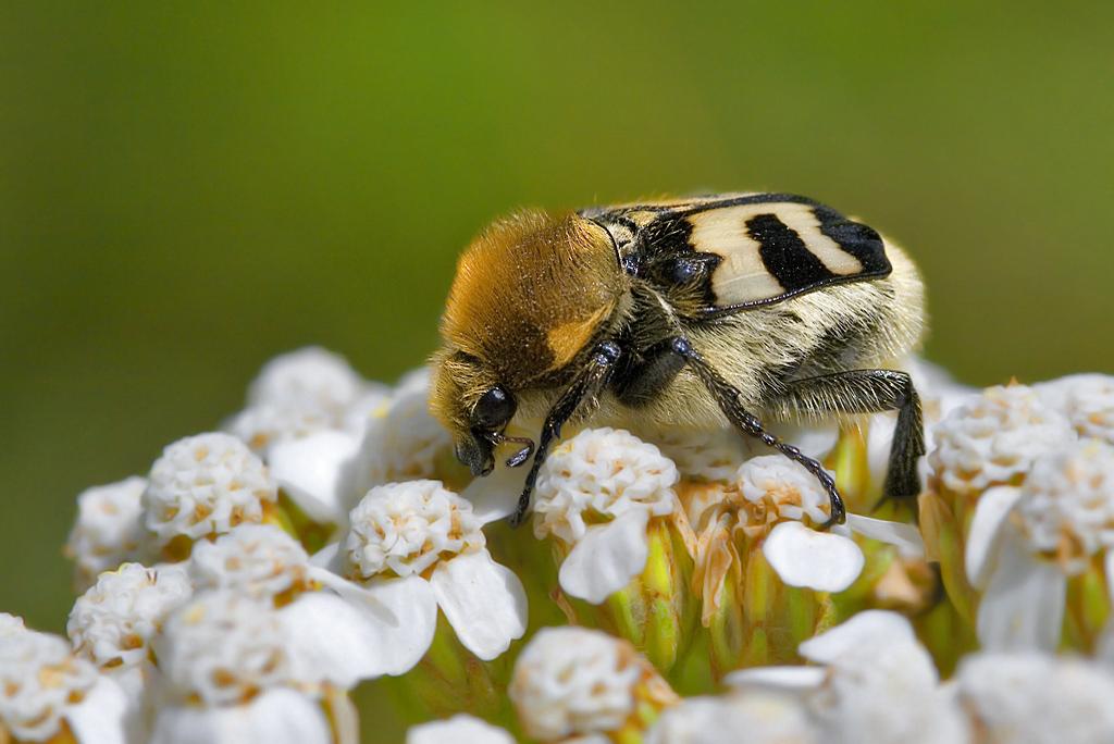 Para ampliar Trichius fasciatus (Linnaeus, 1758) Escarabajo abeja hacer clic